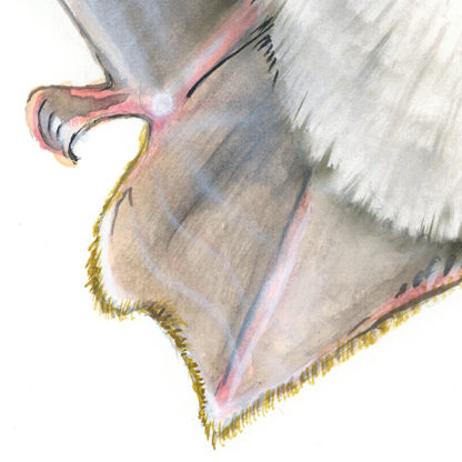Fransenfledermaus