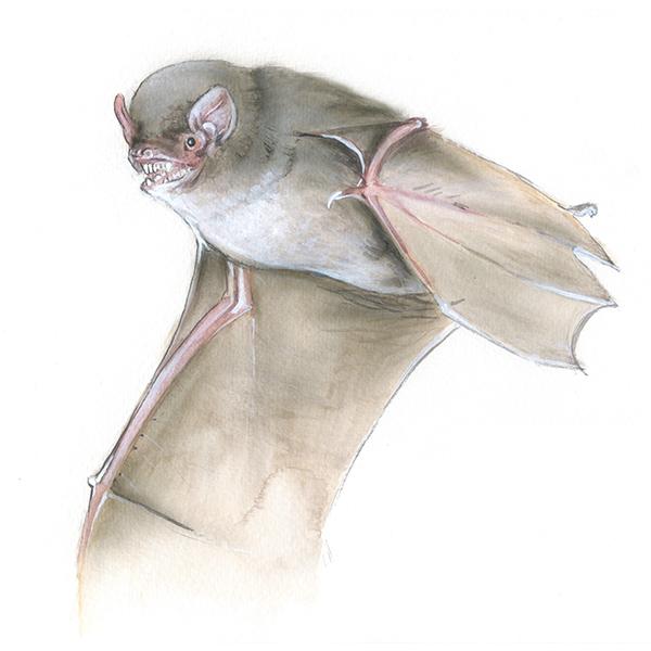 Langflügelfledermaus