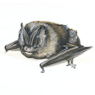 Mopsfledermaus