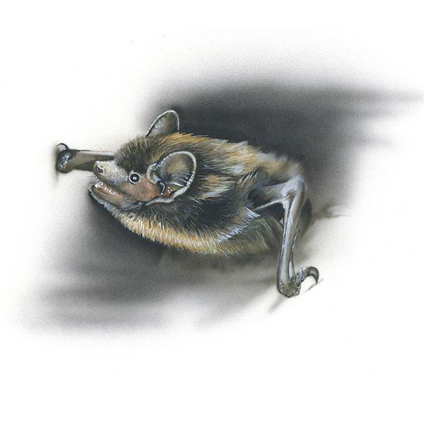 Nordfledermaus