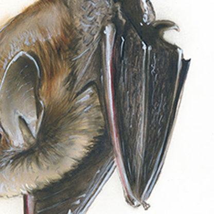 Nymphenfledermaus