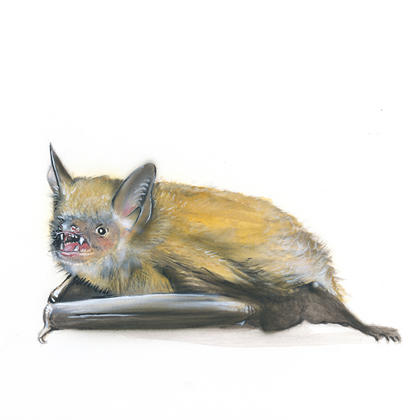 Wimpernfledermaus